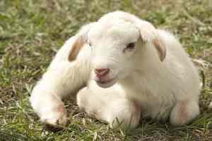 white spottless lamb sitting on ground